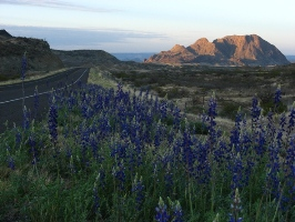 Bluebonnets in Big Bend National Park - shot by Jenna Stokes