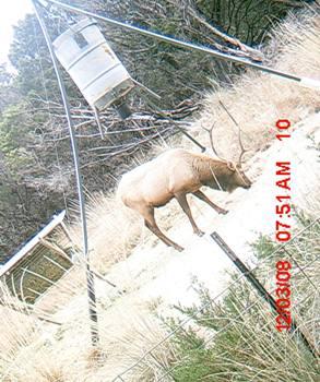 Elk Hunt in Texas